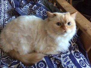 Missing white long hair male house cat Flocon