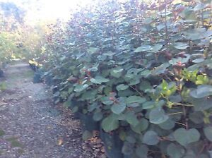 Mature hibiscus cottonwood Orange Grove Gosnells Area Preview
