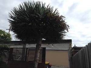 Canary Island Dragon Tree Malabar Eastern Suburbs Preview