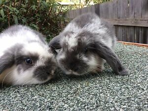 Mini lop bunny's Thirlmere Wollondilly Area Preview