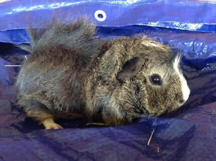 Boy pair guinea pigs 2 Salisbury Downs Salisbury Area Preview