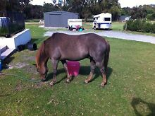 Jacinta's horse clipping Albany 6330 Albany Area Preview