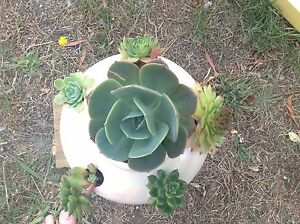 Beautiful pearlescent pot full of succulents Kings Meadows Launceston Area Preview