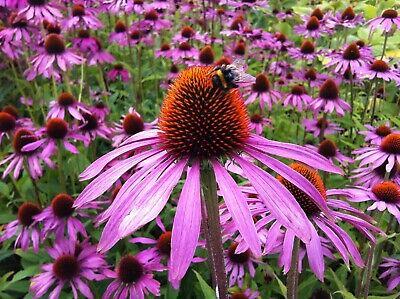 """roter+ weißer""  Sonnenhut Echinacea purpurea Rubeckia winterhart Heilpflanze"