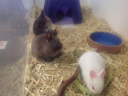 Wanted: Baby Netherland bunnies