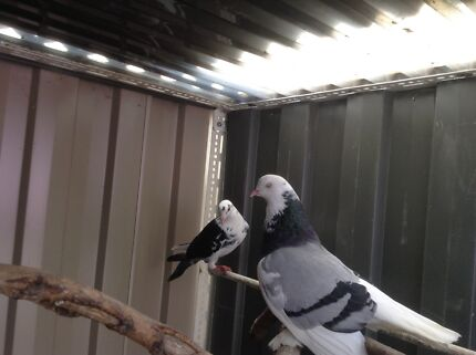 Show pigeons $ 12  Rowville Knox Area Preview