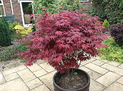 Japanese Purple Maple Tree 15-20cm Tall, Acer Palmatum Atropurpureum Plant