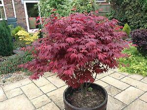 Japanese Purple Maple Tree 15-20cm Tall, Acer Palmatum Atropurpureum Plant