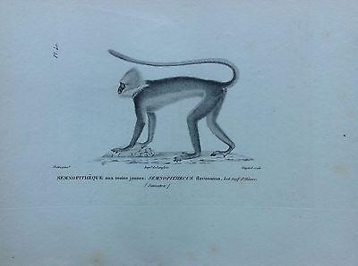 Semnopithèque Hands Yellow Monkey 1830 Storia Natural Centurie Zoologique