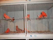 Variety of Canaries For Sale Quakers Hill Blacktown Area Preview