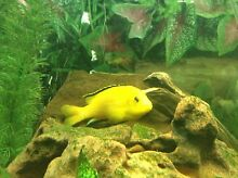 10 ELECTRIC YELLOW CICHLIDS Angle Vale Playford Area Preview