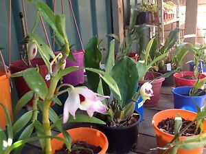 Orchids Colyton Penrith Area Preview