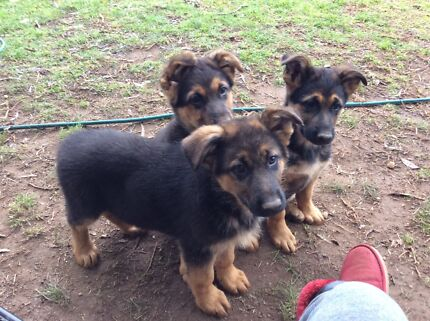 German Shepherd puppies for sale  Gundagai Gundagai Area Preview