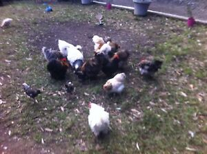 Rooster Rescue p/u service available Maitland Maitland Area Preview