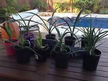 Aloes & clivias in 125 ml pots $6 each Meadow Springs Mandurah Area Preview