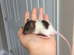Baby rats // 4 males, 4 females!
