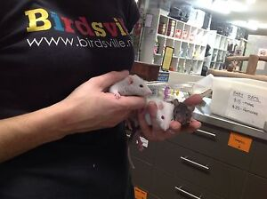 Baby rats for sale Alexandria Inner Sydney Preview