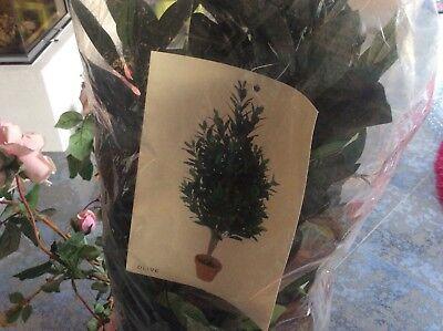 Exklusiver Olivenbaum mit Früchten ca 120 cm getop