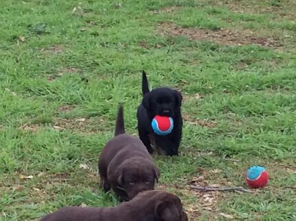 Labrador Puppies for sale Merriwa Upper Hunter Preview