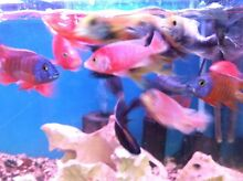 Are you starting up CICHLIDS. Caringbah Sutherland Area Preview
