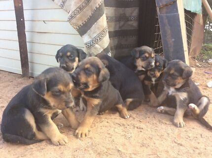 Hunterway pups for sale  Narrandera Narrandera Area Preview