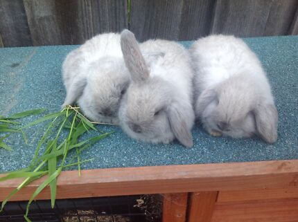 3 pure bred mini lops baby bunnies  Sandy Bay Hobart City Preview