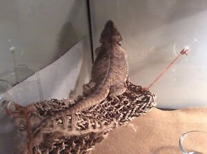 Bearded dragon in GREAT HEALTH with EVERYTHING you will need.