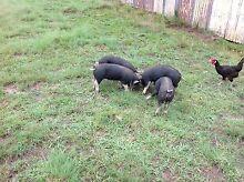 Berkshire piglets Wollomombi Armidale City Preview
