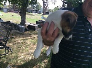 Standard fox terrier female for sale North Tamworth Tamworth City Preview