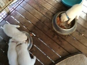 Swiss White Shepard  //White Husky. Male has papers Puppies