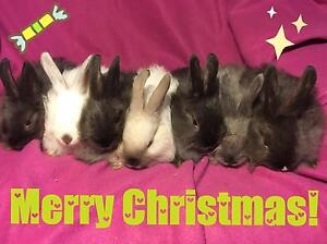8 week old Purebred French Angora rabbits Gosnells Gosnells Area Preview