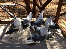Pigeons Armadale Armadale Area Preview