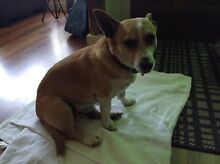 Nice natured dog needs secure home Mira Mar Albany Area Preview