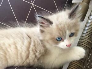Stunning, ragdoll x kitten