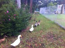 WANTED Unwanted fowl Karuah Port Stephens Area Preview