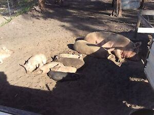 Piglets and two sows Sandford Clarence Area Preview
