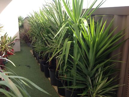 Yucca Extra Large Hillarys Joondalup Area Preview