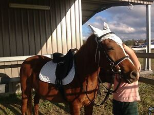 Well loved 14 yr old purebred Arab gelding- Only best of homes- Upper Brookfield Brisbane North West Preview