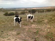 Holstein Fresian yearling Steers Mount Barker Mount Barker Area Preview