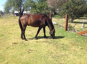 For Sale Australian Riding Pony Wherrol Flat Greater Taree Area Preview