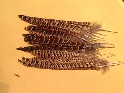 20 hen pheasant tail feathers