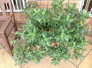 Jade Plant and Pot Birkdale Redland Area Preview
