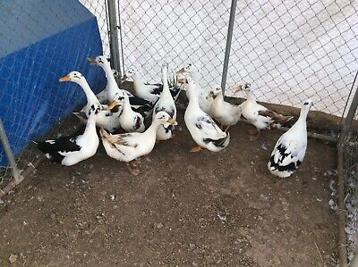 12 Fertile Ancona Duck Hatching Eggs