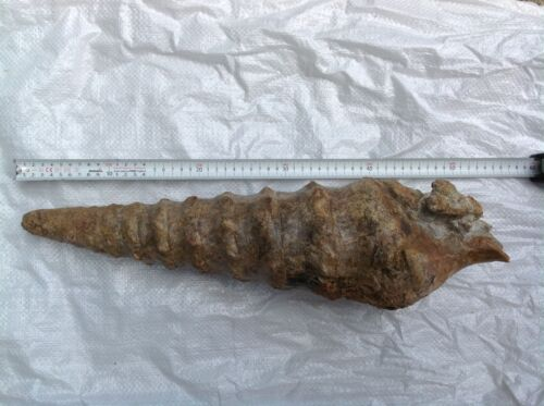 Fossil Campanile Lachesis Giant Snail, Teriary, Bulgaria,52cm