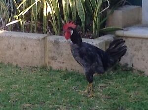 Rooster, Rare Canning Vale Canning Area Preview