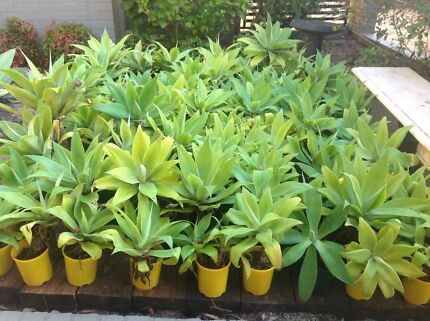 Cheap Agaves Mount Colah Hornsby Area Preview