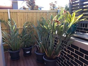 Birds of Paradise Plants For Sale Macquarie Links Campbelltown Area Preview