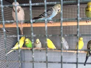 English budgies Ormeau Gold Coast North Preview