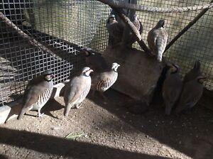 partridge in Melbourne Region, VIC | Birds | Gumtree