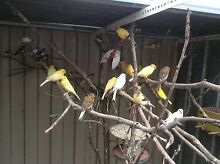 Various birds & cages from $ 10 Rowville Knox Area Preview